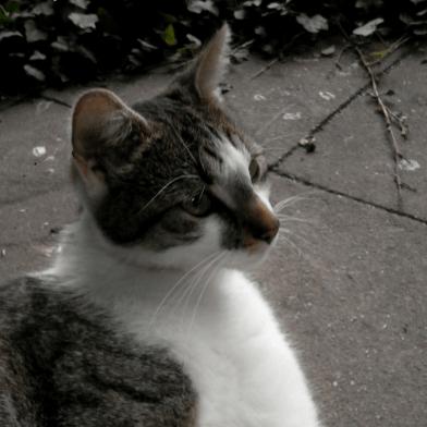 Kastrationspflicht für Katzen! ….Verhindert die Ausbreitung von Bartonellen