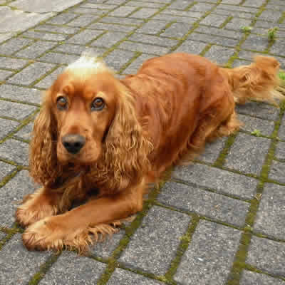 Anaplasmosis in dogs chart