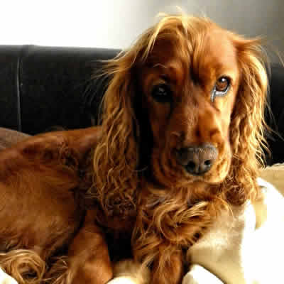 Anaplasmosis in dogs