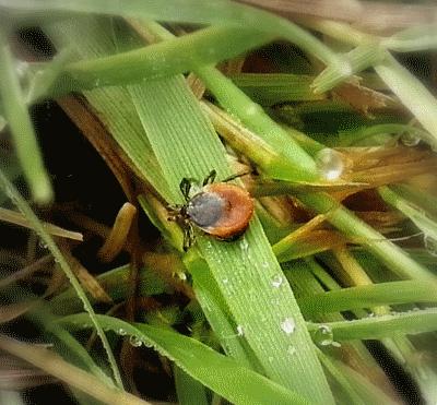 Zecke-im-Gras1