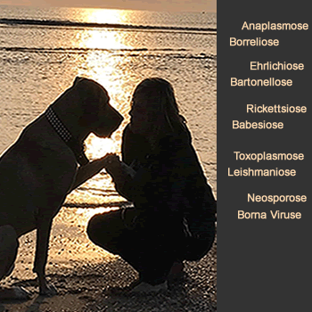 Anaplasmose Borreliose Hund